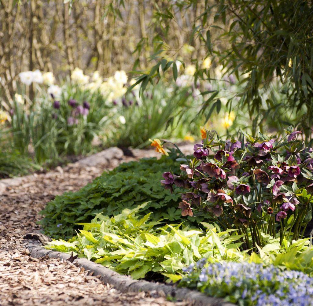 Curved Garden Path Through Spring Borders with Hellebores Helleborus and Daffod